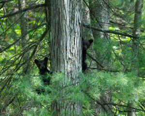 Inquisitive Bear Cubs