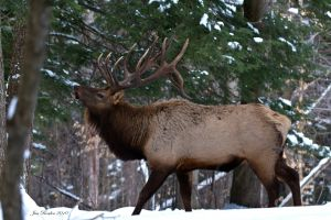Bugling Bull in Winter