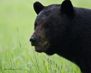 Papa Black Bear