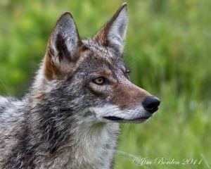 Alert Eastern Coyote
