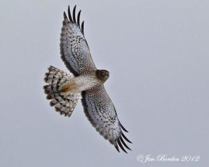 Female Northern Harrier in Flight